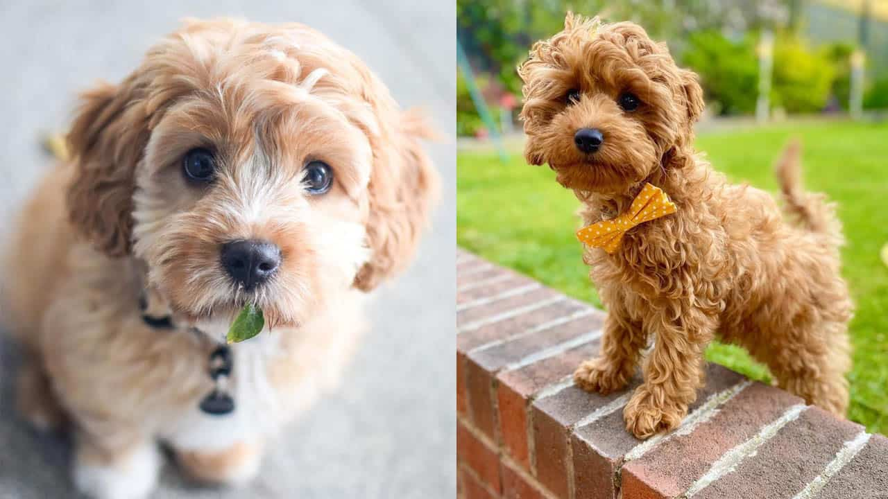 Cavoodle Dog Breed Facts and Information