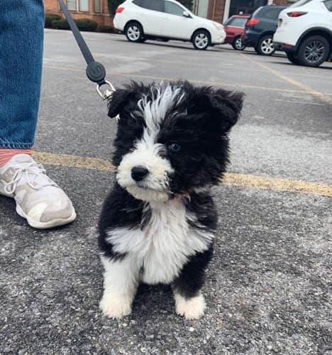 huskydoodle-dog-breed-5