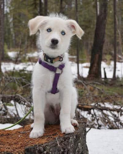 huskydoodle-dog-breed-7