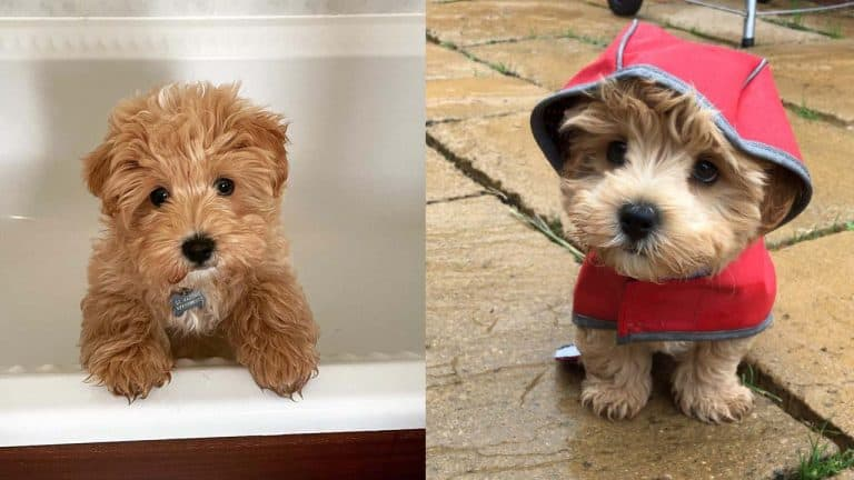 pooton-dog-breed