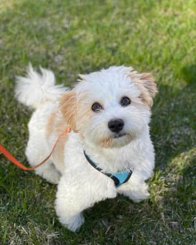 pooton-dog-breed-8