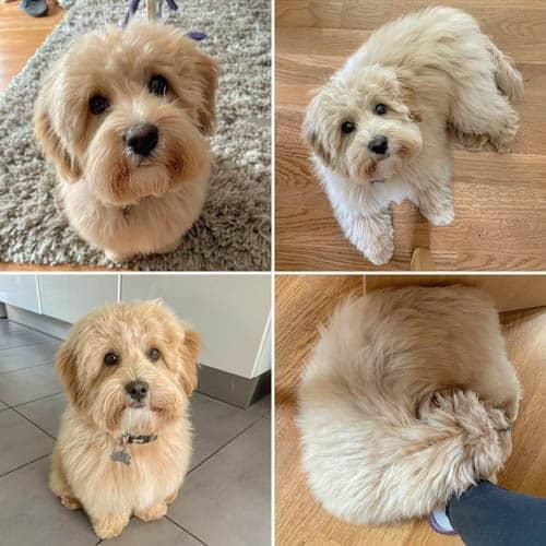 poo-ton-dog-breed-9