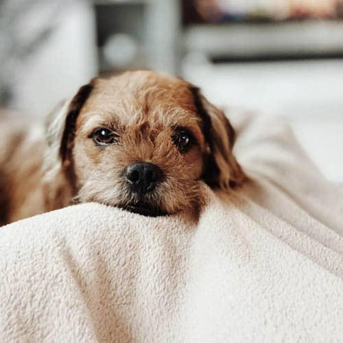 pugapoo-dog-breed-5